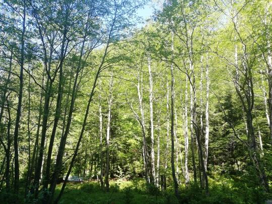 Fig. 3 - Pădure de fag pe Valea Rea